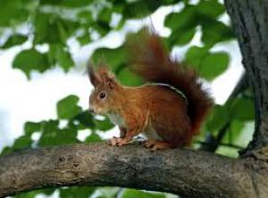 Hmotnosť 250-400 g, dĺžka tela 20-27 cm, dĺžka chvosta 16-20 cm